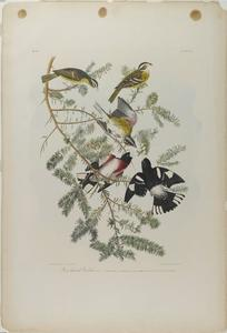 John James Audubon - Роуз грудью дубонос