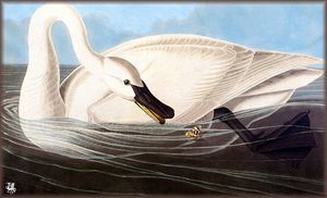 John James Audubon - Трубач Лебедь
